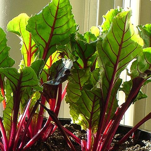 Шпинат: выращивание из семян в домашних условиях, сбор