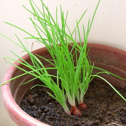 Выращивание лук-шнитт на подоконнике 95