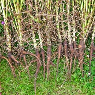 Козлобородник пореелистный - несъедобные корни после цветения