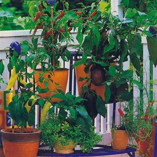 Баклажаны и перцы на балконе