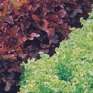 Кудрявый листовой салат